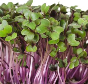 Spicy Salad Mix Microgreens