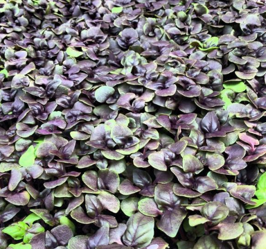 Dark Opal Basil Microgreens