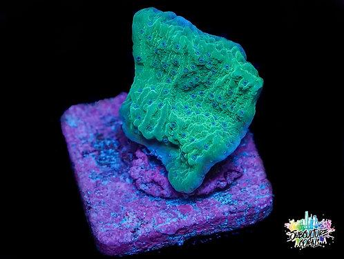Blue Polyp Montipora