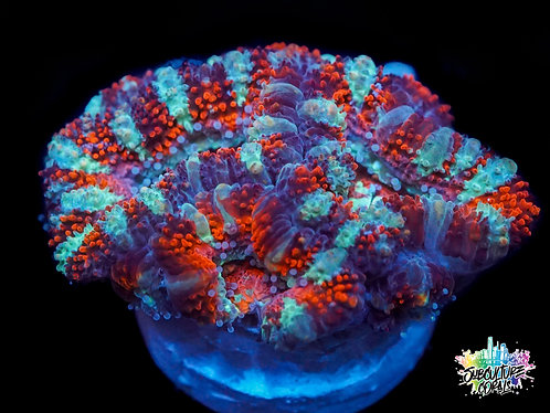 Teal Stripped Acan