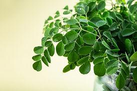 fresh-moringa-leaves-on-yellow-backgroun