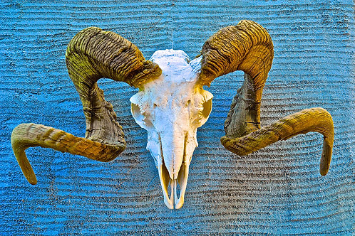 Big Horn Sheep Ram Skull on Turquoise Adobe Wall Taos, New Mexico