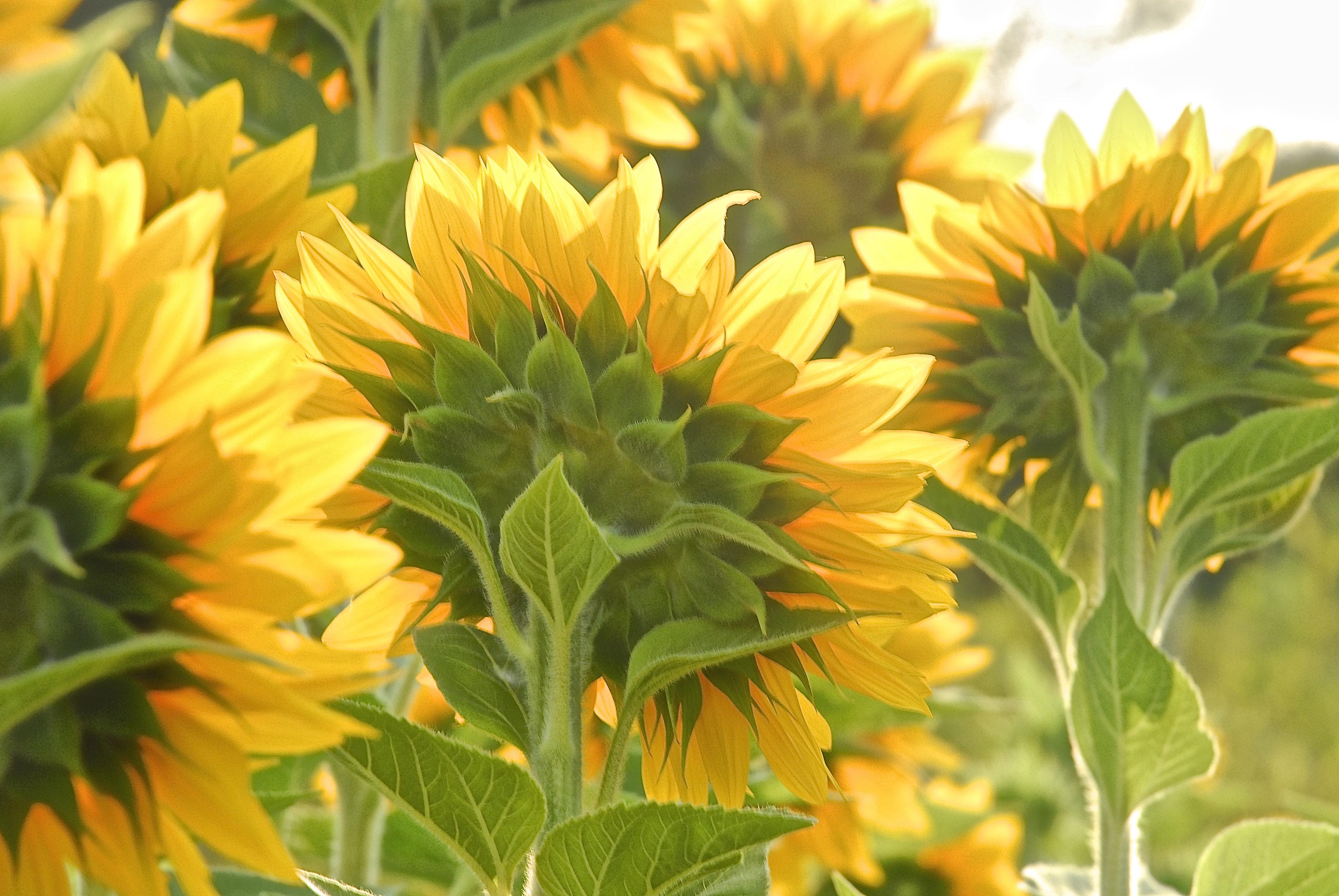 SunflowersFROMBack