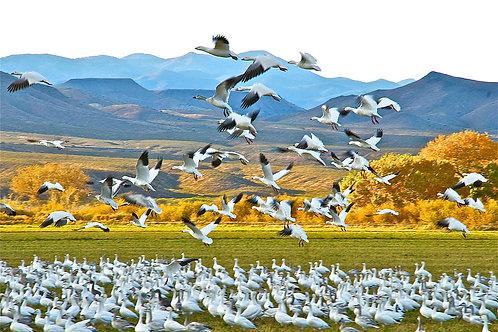Snow Geese at Bosque del Apache Wildlife Refuge: San Antonio, New Mexico