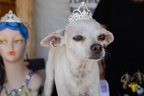 Audrey Hepburn, the Goddess dog, dresses up in a tiara