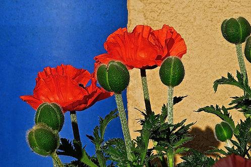 Spring Poppies: Santa Fe, New Mexico