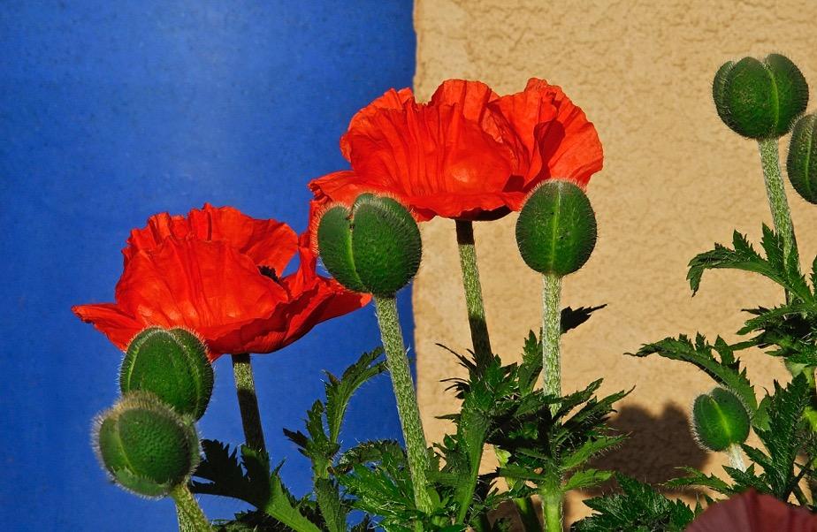 poppies&blue