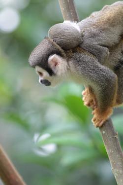 Affe mit Jungem auf dem Rücken