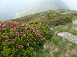 Alpenrosen so weit das Auge reicht