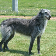 scottish_deerhound_1.jpg