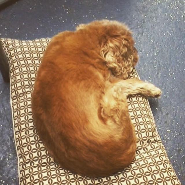 Ziggy loves his naps! #unleashed #dogsof