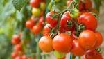 tomatoes from godaddy.jpg