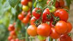 tomatoes from godaddy.jpg