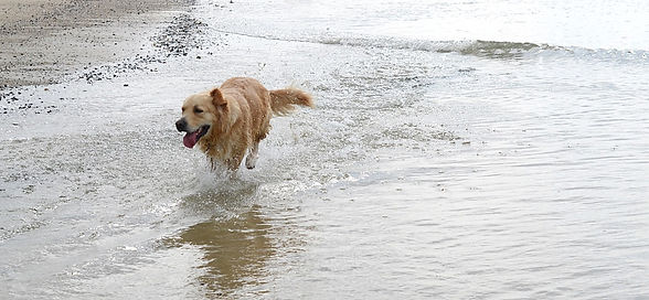 A dog running in the waves at the beach