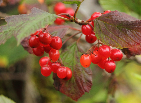 Berry Spotlight: High-Bush Cranberry!