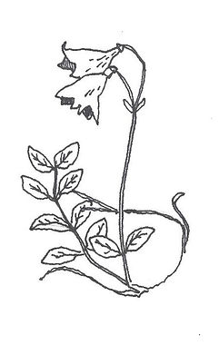 single twinflower drawing.jpg