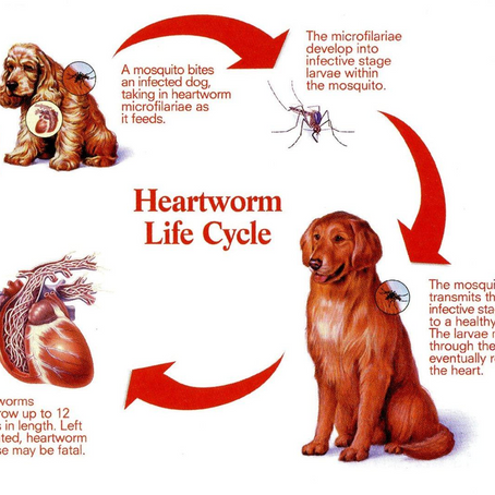 April - National Heartworm Awareness Month.