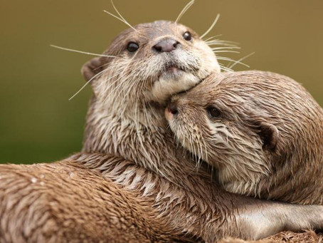 Southeast Asia's appetite for pet otters supplied online | IUCN
