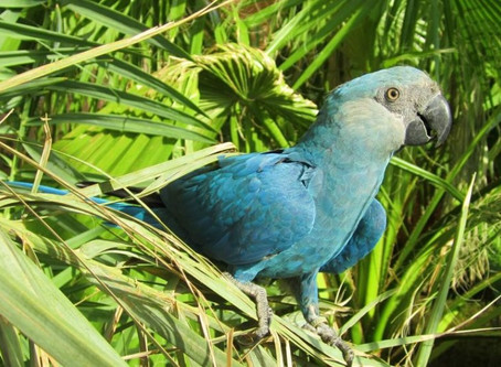 Spix's Macaw heads list of first bird extinctions confirmed this decade
