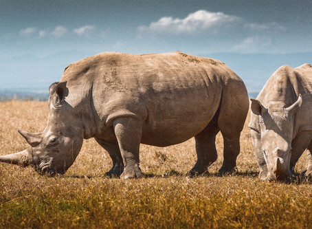 Synthetic rhino horns are supposed to disrupt poaching. Will they work?