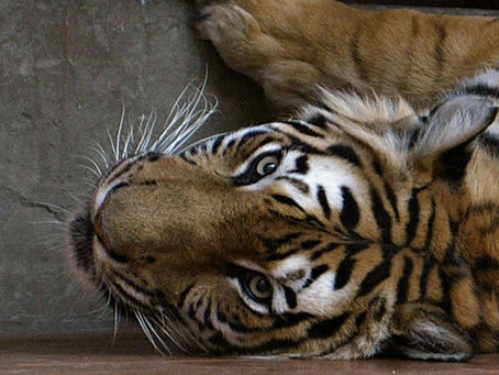 Tiger Farms: A Threat to Conservation of Wild Tigers