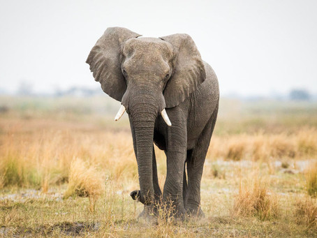 What is ivory and why does it belong on elephants?
