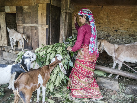 A little-known disease wiping out millions of sheep and goats, and livelihoods | FAO