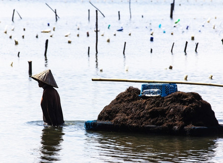 The tide is coming in for Indonesia's seaweed