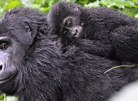 Kwita Izina: baby gorillas' naming ceremony celebrates our close connection to endangered Great Apes