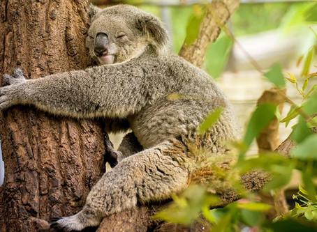 10 Interesting facts about koalas