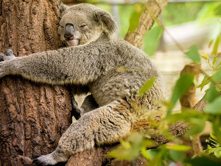 10 Interesting facts about koalas