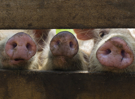 Deadly swine fever threatens Asia, UN agriculture agency warns