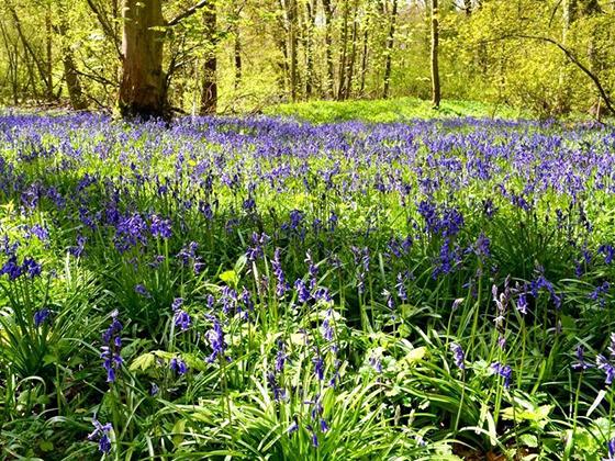Bonny Heydon bluebells