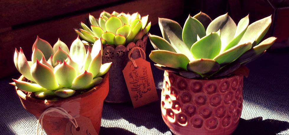 The Wallflower & Wallace - plants