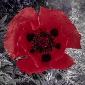Poppy for Grandad