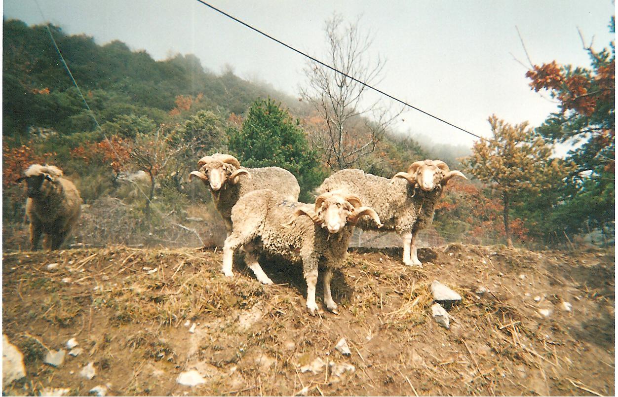 beliers-merinos