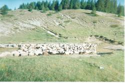 moutons3.jpeg