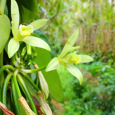 Vanilla beans are the fruits of an orchid!