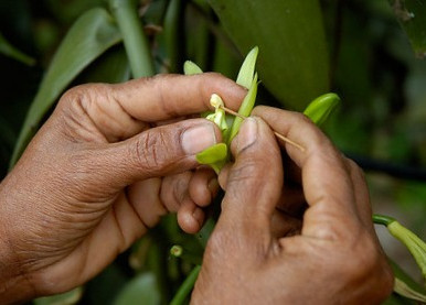 Bees can't help! Growing vanilla takes intensive hand labor and years