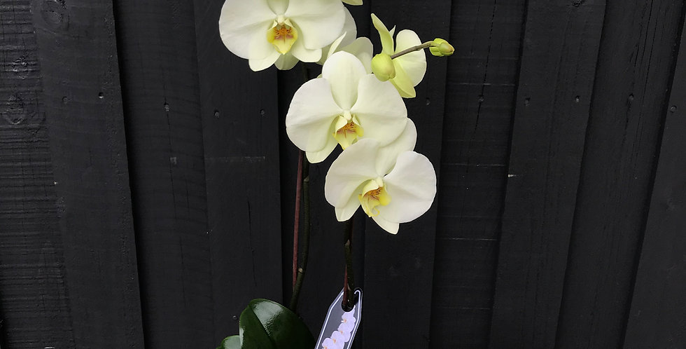 Double Stem Phalaenopsis Orchid - $65