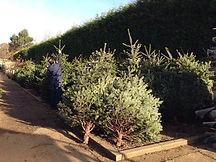 Nordman Fir Tree Warwick.jpg
