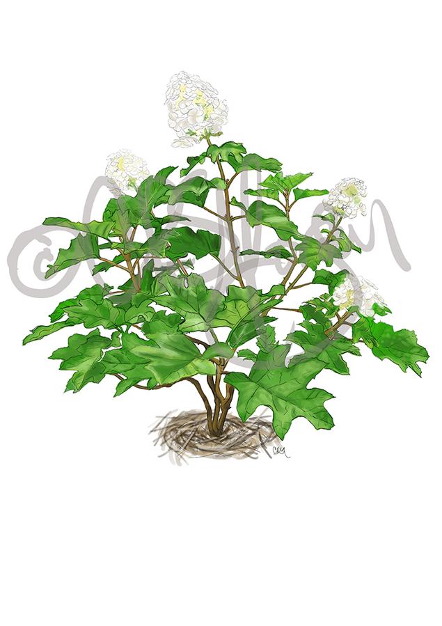 Oak Leaf Hydrangea Summer