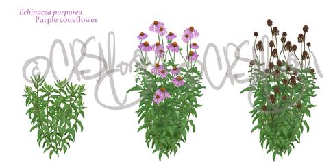 Purple coneflower - Echinacea purpurea