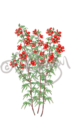 Hibiscus coccineus - Scarlet rose mallow