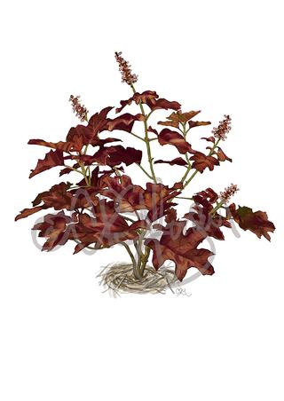 Oak Leaf Hydrangea Fall