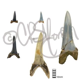 Striatolamia macrota Fossil Teeth