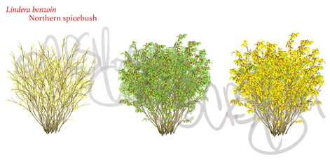 Northern spicebush - Lindera benzoin