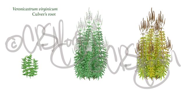 Culver's root - Veronicastrum virginicum