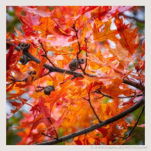 Fall Oaks