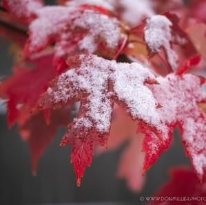 Snow Maples